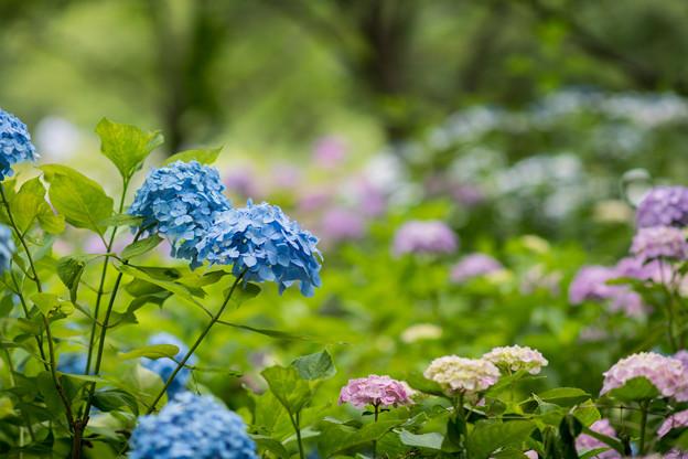 相模原北公園【紫陽花:混植の場所】3