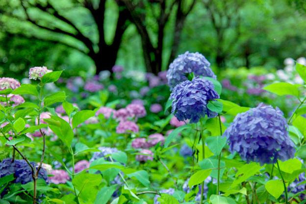 相模原北公園【紫陽花:混植の場所】5銀塩