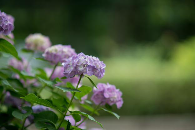 相模原北公園【紫陽花:西洋アジサイ】1