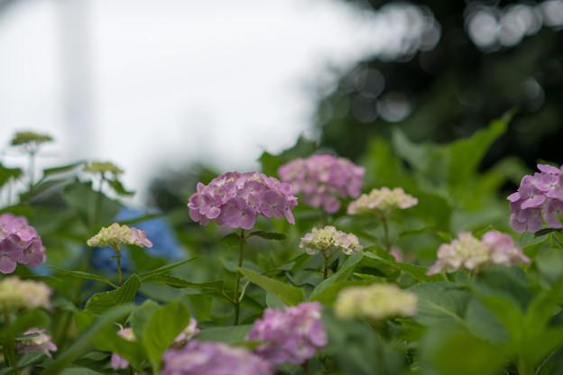 相模原北公園【紫陽花:西洋アジサイ】4