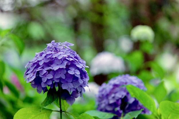 相模原北公園【紫陽花:西洋アジサイ】6銀塩