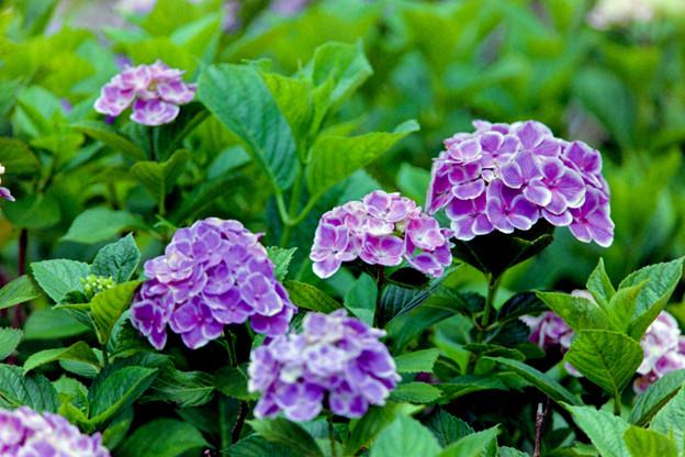相模原北公園【紫陽花:フラウ・ヨシコ】2銀塩