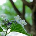 相模原北公園【紫陽花:ミハラヤエ】3銀塩