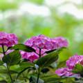 相模原北公園【紫陽花:プリマ】2銀塩