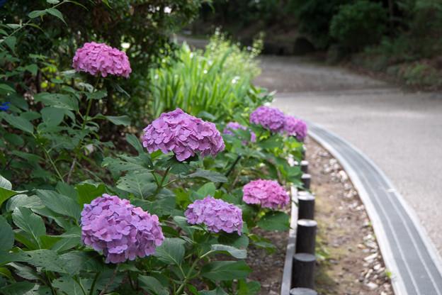 早朝ウォーキング【ささぶねの道の花:紫陽花】