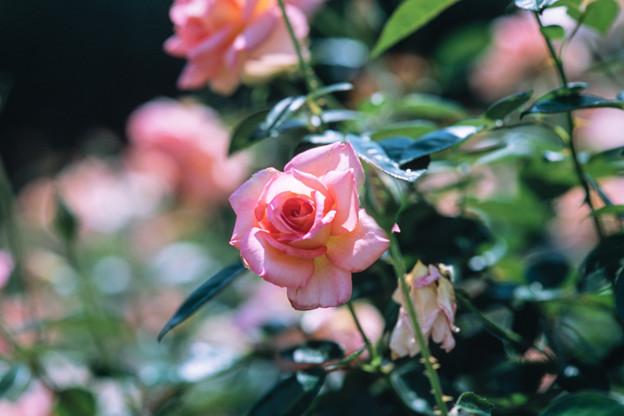 神代植物公園【春バラ:シルバ】1銀塩