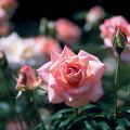 神代植物公園【春バラ:シルバ】2銀塩