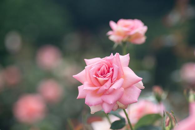 神代植物公園【春バラ:シルバ】3
