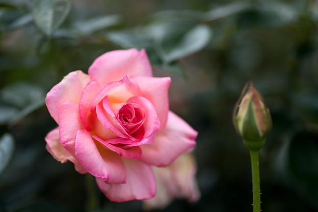 神代植物公園【春バラ:シルバ】4
