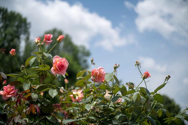 神代植物公園【春バラ:ヘレン・トローベル】1