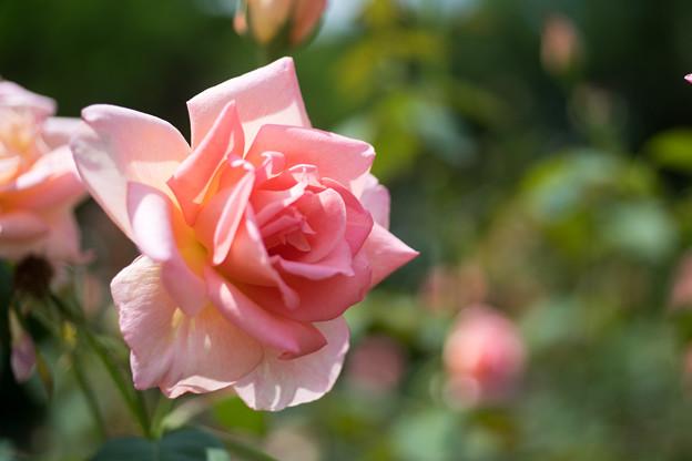 神代植物公園【春バラ:ヘレン・トローベル】4