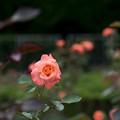 神代植物公園【春バラ:マジョレット】1