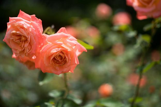 神代植物公園【春バラ:マジョレット】2