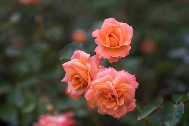 神代植物公園【春バラ:マジョレット】3