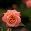 神代植物公園【春バラ:マジョレット】4