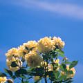 神代植物公園【春バラ:伊豆の踊子】1銀塩