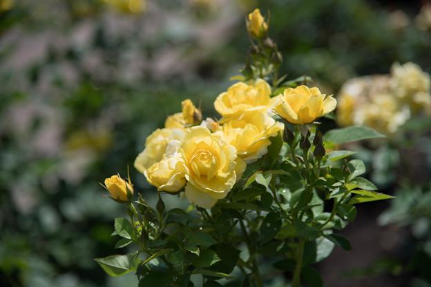 神代植物公園【春バラ:伊豆の踊子】2