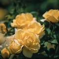 神代植物公園【春バラ:伊豆の踊子】3銀塩