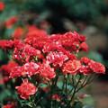 神代植物公園【春バラ:コンチェルティーノ】銀塩