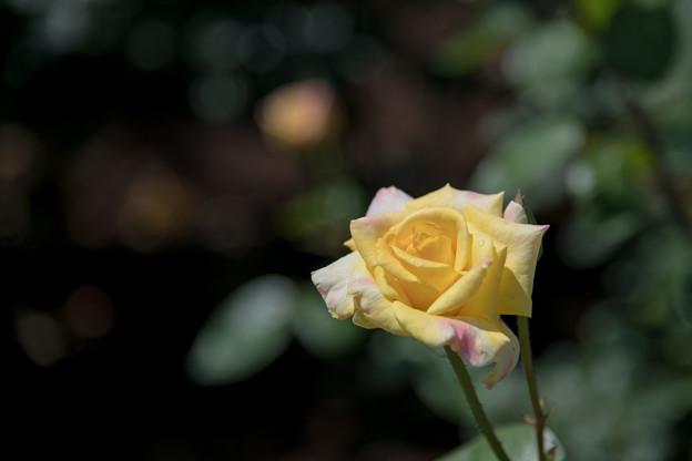 神代植物公園【春バラ:ゴールド・クローネ】1