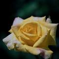神代植物公園【春バラ:ゴールド・クローネ】2銀塩