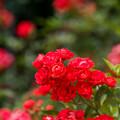 神代植物公園【春バラ:グロアール・ド・ミディ】