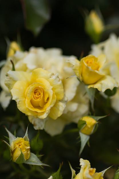 神代植物公園【春バラ:サン・フレーア】