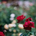 神代植物公園【春バラ:イングリッド・バーグマン】銀塩