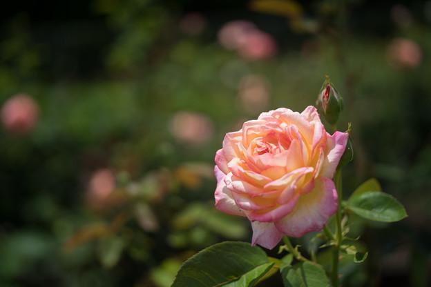 神代植物公園【春バラ:朝雲】