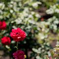 神代植物公園【春バラ:乾杯】