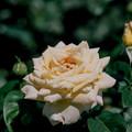 神代植物公園【春バラ:ピース】銀塩