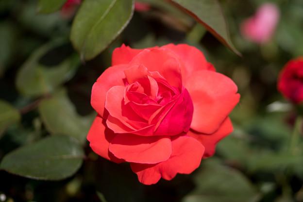 神代植物公園【春バラ:緋扇】