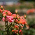 神代植物公園【春バラ:エスター・オファリム】