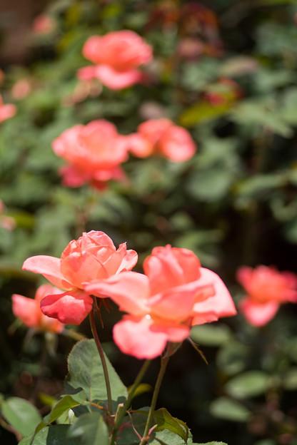 神代植物公園【春バラ:カトリーヌ・ドゥヌーブ】