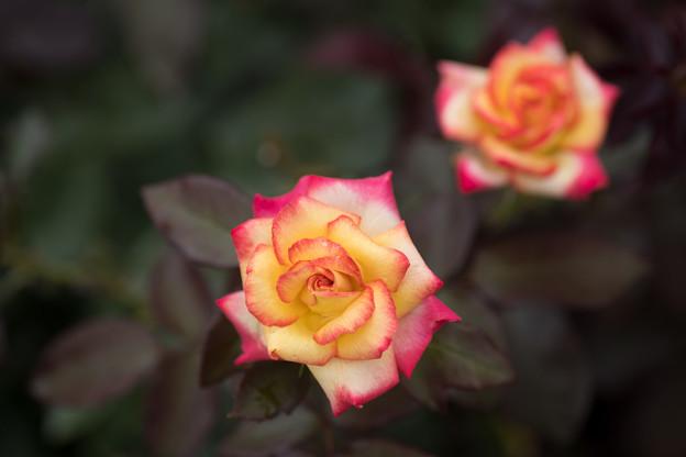 神代植物公園【春バラ:チャールストン】