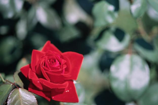 神代植物公園【春バラ:ビーバ】銀塩