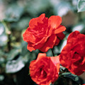 Photos: 神代植物公園【春バラ:コーラス】銀塩
