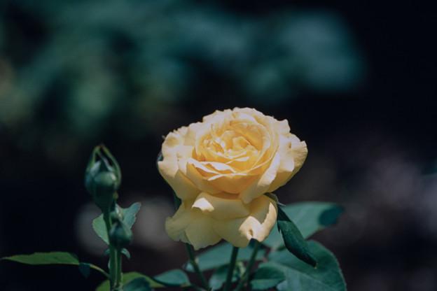 神代植物公園【春バラ:星光】銀塩