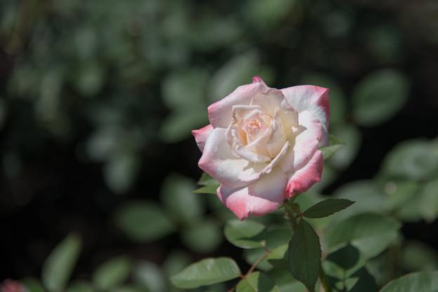 神代植物公園【春バラ:夕霧】