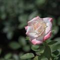 Photos: 神代植物公園【春バラ:夕霧】