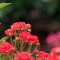 神代植物公園【春バラ:ファイヤーグロウ】