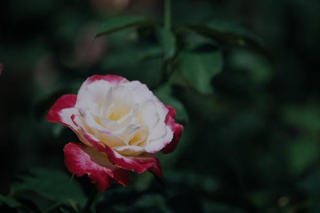 神代植物公園【春バラ:ダブル・ディライト】銀塩