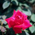 神代植物公園【春バラ:アメリカーナ】銀塩