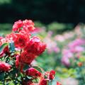 神代植物公園【春バラ:フィデリオ】銀塩