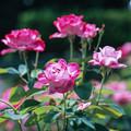 神代植物公園【春バラ:ブルーリバー】銀塩
