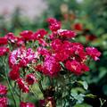 神代植物公園【春バラ:レッド・キャップ】銀塩