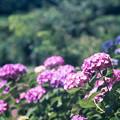 神代植物公園【赤系アジサイ】3銀塩