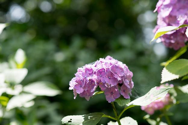 神代植物公園【赤系アジサイ】4