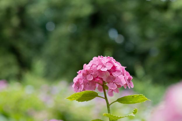 神代植物公園【赤系アジサイ】5