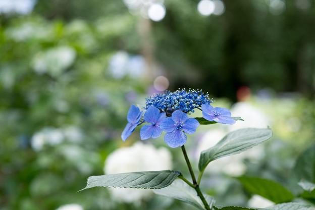神代植物公園【額アジサイ】1